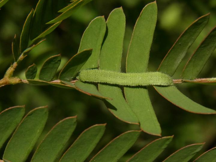 キタキチョウ幼虫18mm-R0014542