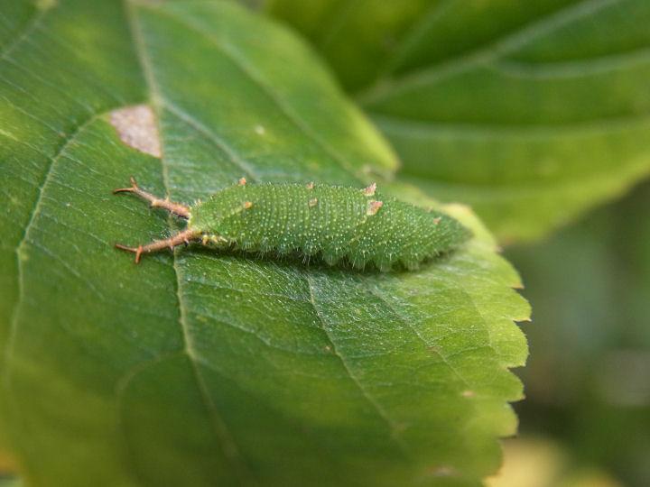 アカボシゴマダラ幼虫18mm-R0014612