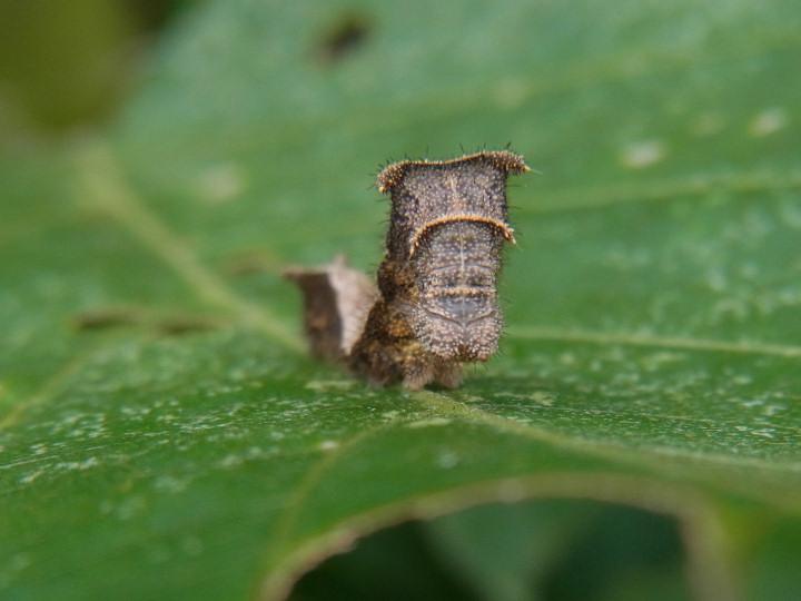 コミスジ幼虫15mm-R0014705
