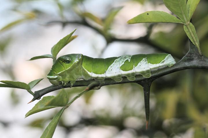 ナガサキアゲハ幼虫60mm-IMG_3064