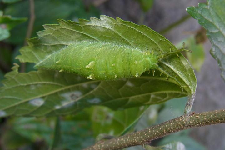 アカボシボマダラ幼虫50mm-R0014823