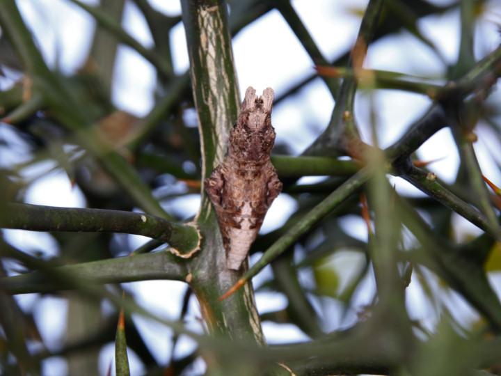 ナガサキアゲハ蛹-IMG_3471