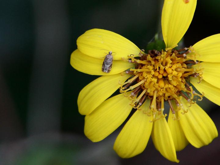 未同定の小さな蛾-IMG_3590