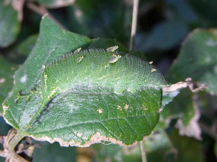 アカボシゴマダラ幼虫43mm-R0015350