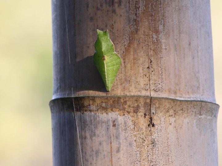 カラスアゲハ蛹-IMG_4080