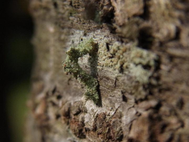 シラホシコヤガ(幼虫)-R0015656