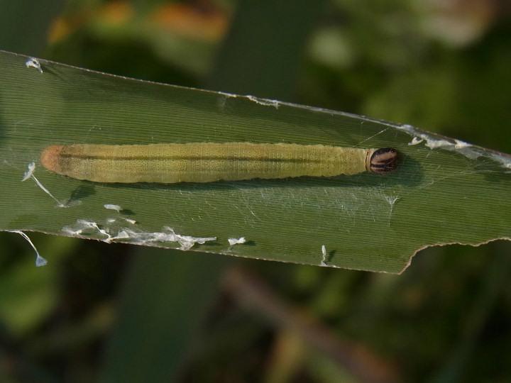 イチモンジセセリ幼虫31mm-R0015695