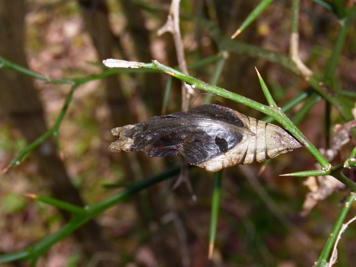 ナガサキアゲハ蛹49mm-R0015738