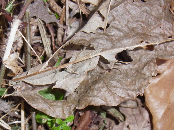 コミスジ幼虫-R0015847