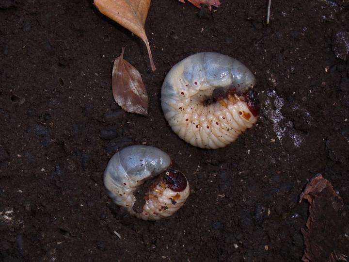 カブトムシ幼虫-R0016282