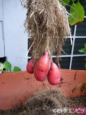20110618 赤ジャガイモ 収穫 1番P