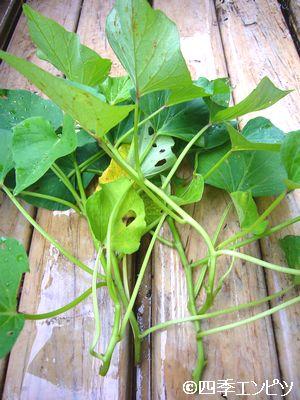 20110618 サツマイモ 苗