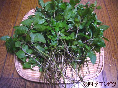 20110709 ペパーミント 収穫