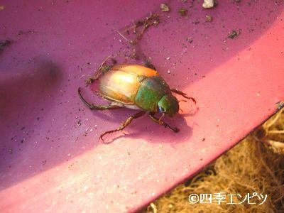 20110703 紅ジャガイモ 芋掘り中の虫
