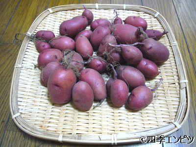 201107 紅ジャガイモ 5番プランター 収穫