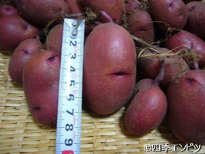 201107 紅ジャガイモ 5番プランター 収穫 大きさ