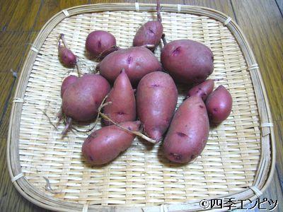201107 紅ジャガイモ 1番プランター 収穫