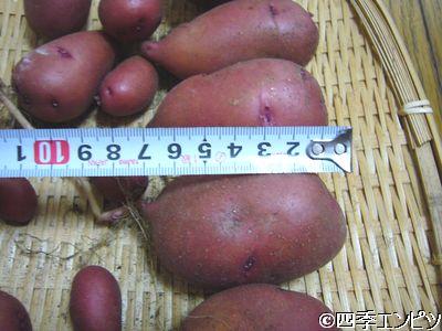 201107 紅ジャガイモ 1番プランター 収穫 大きさ