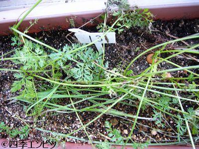 20110723 ベビーキャロット 収穫前