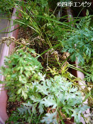 20110717 ベビーキャロット 収穫前