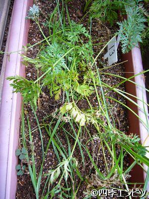 20110717 ベビーキャロット 収穫後