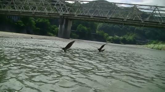 富士川舟運 トンビ二羽