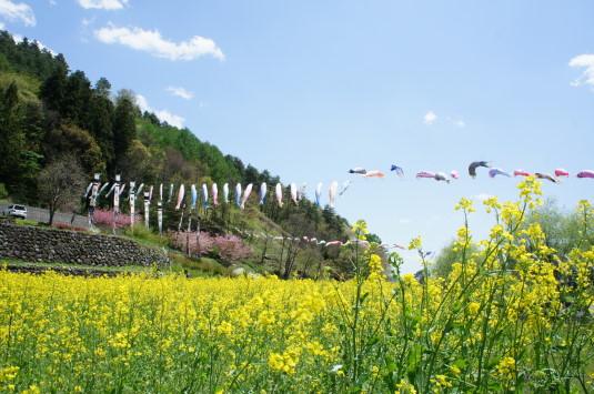 長沢鯉のぼり祭り1 菜の花