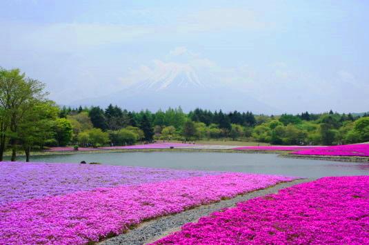 富士芝桜まつり 富士山