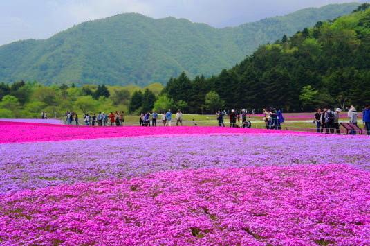 富士芝桜まつり 観光客