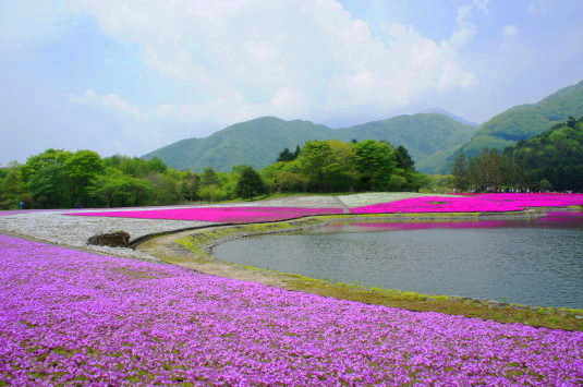 富士芝桜まつり 竜神池南