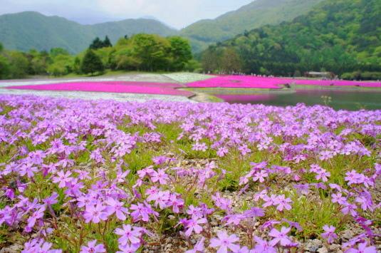 富士芝桜まつり 芝桜アップ