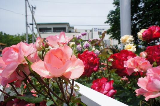 バラ 桔梗屋工場前 外観