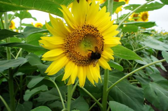 明野ひまわり ハチ