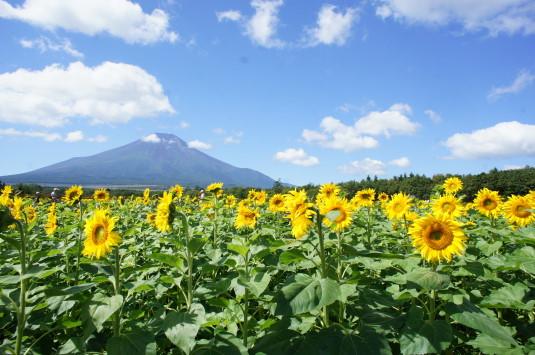 山中湖花の都公園 ひまわり 外観
