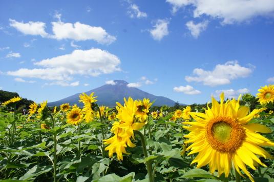 山中湖花の都公園 ひまわり アップ
