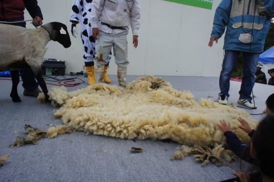 フェスタまきば 毛刈りショー 毛皮