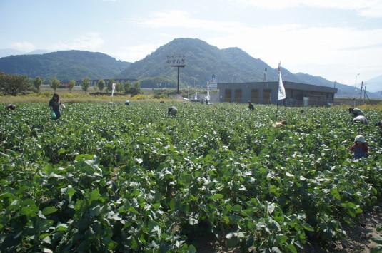 曙大豆 収穫体験 体験