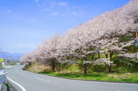 桜 市川三郷広域農道 道