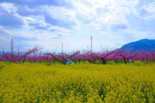 桃 ピーチライン 菜の花