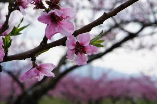 桃 ピーチライン 桃の花