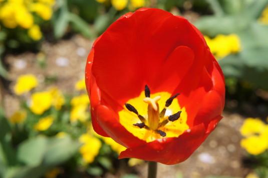 チューリップ ハイジの村 花