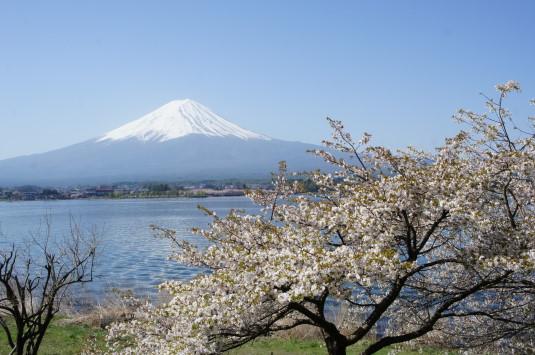 桜 長崎公園 富士山