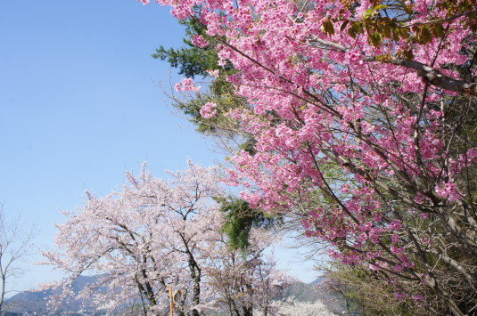 桜 長崎公園 桜