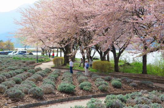 桜 八木崎公園 湖畔沿い
