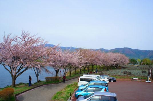 桜 八木崎公園 展望台から