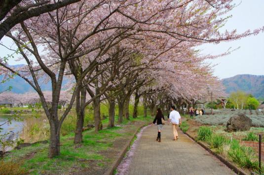 桜 八木崎公園 並木道