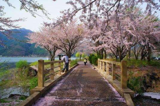 桜 八木崎公園 橋