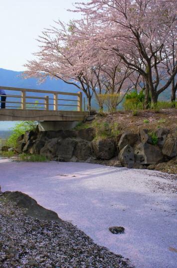 桜 八木崎公園 桜川