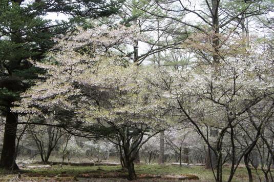 桜 中ノ茶屋 フジザクラ