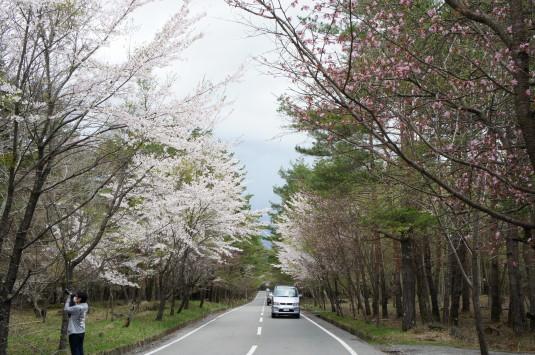 桜 中ノ茶屋 道